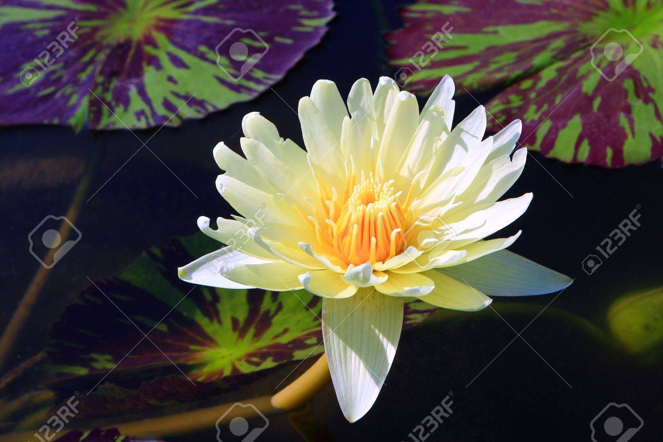 The Lotus Is A Buddhist Worship Stock Photo Picture And Royalty