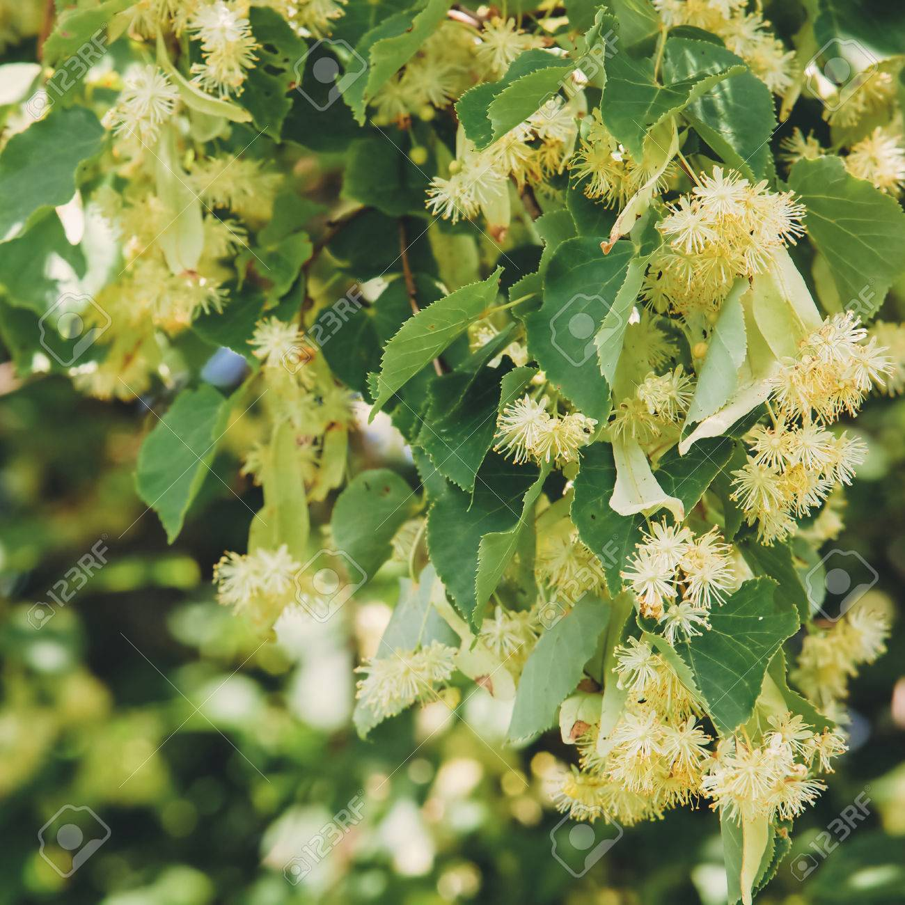 Linden Tree blossom - 54483124