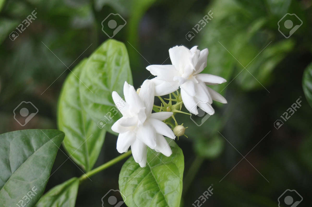 Sajukris 1 royalty free photos pictures images and stock photography indian jasmine flowers izmirmasajfo