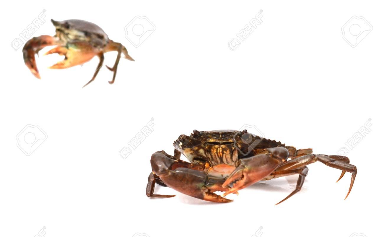 Live Mud Crab - 118103098