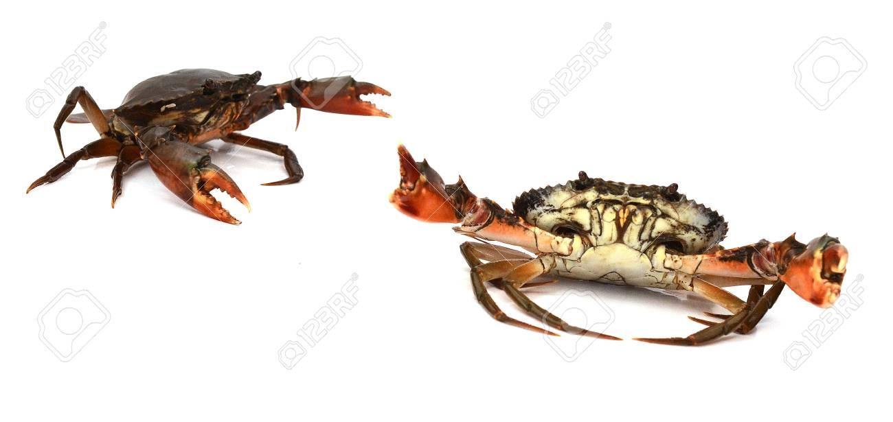 Live Mud Crab - 118103100