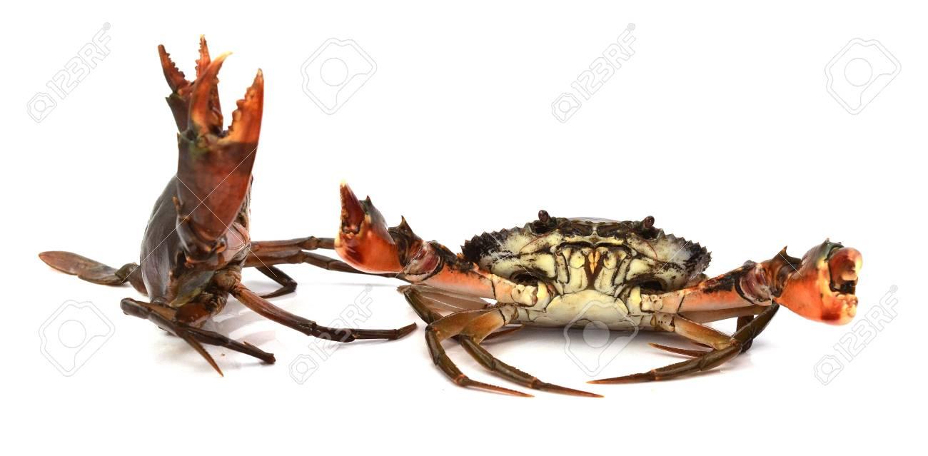 Live Mud Crab; Scylla serrata - 118103102