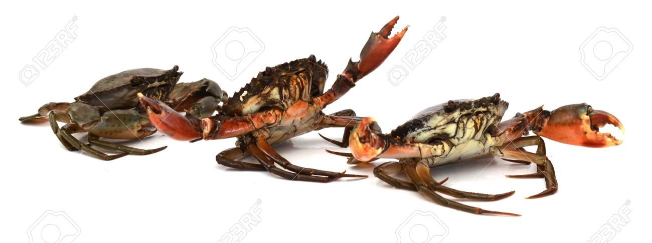 Live Mud Crab; Scylla serrata - 118103103