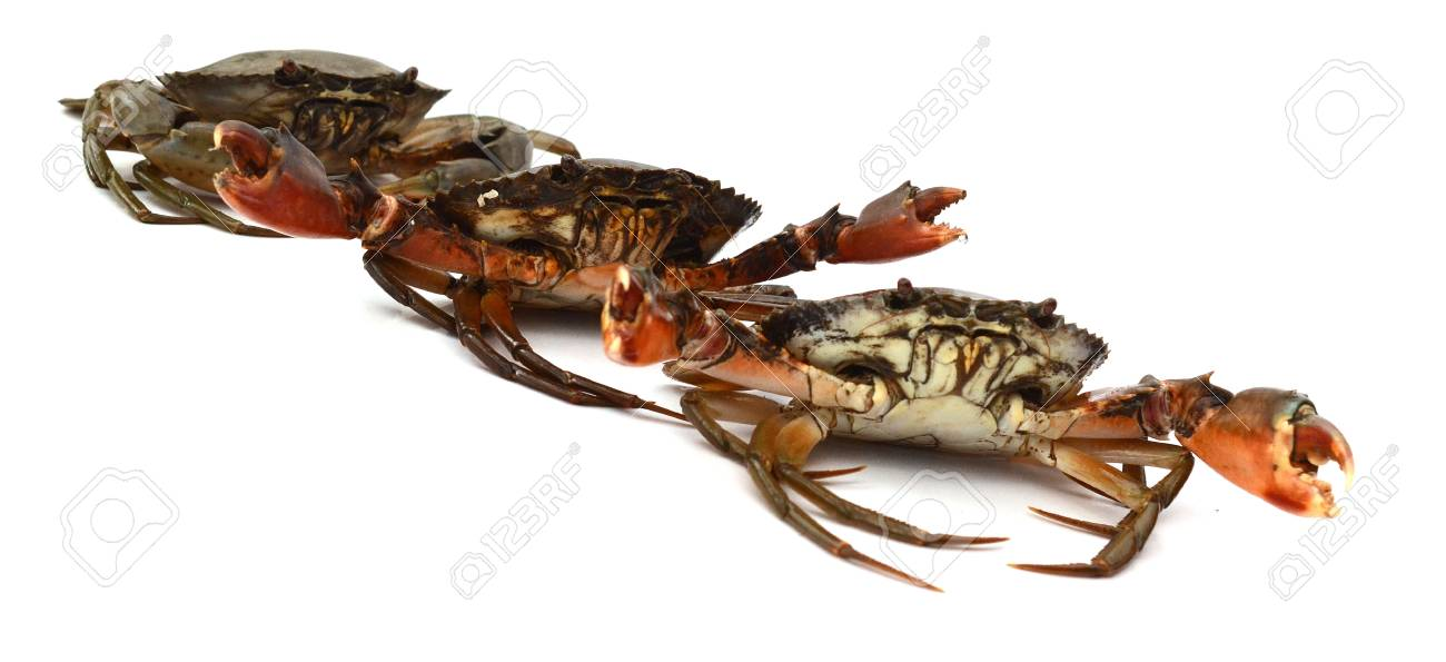 Live Mud Crab; Scylla serrata - 118103104