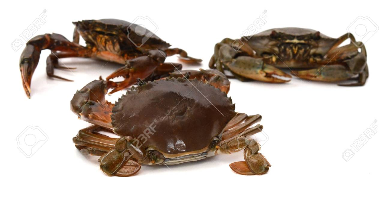 Scylla serrata. Mud crab isolated on white background with copy space. Raw materials for seafood restaurants concept. - 118103345