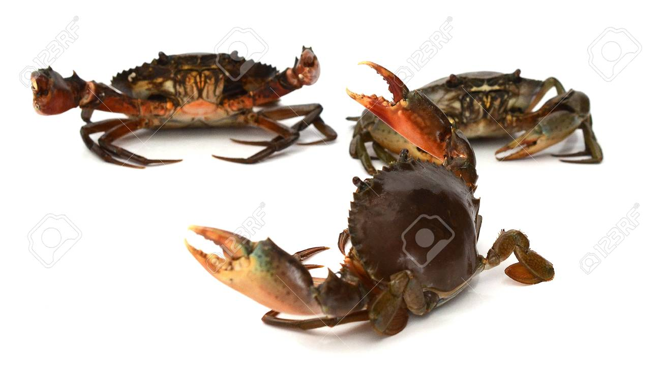 Scylla serrata. Mud crab isolated on white background with copy space. Raw materials for seafood restaurants concept. - 118103346