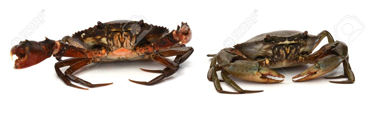 Scylla serrata. Big crab use the claw to fight small crab isolated on white background. Raw materials for seafood restaurants concept. - 118103347