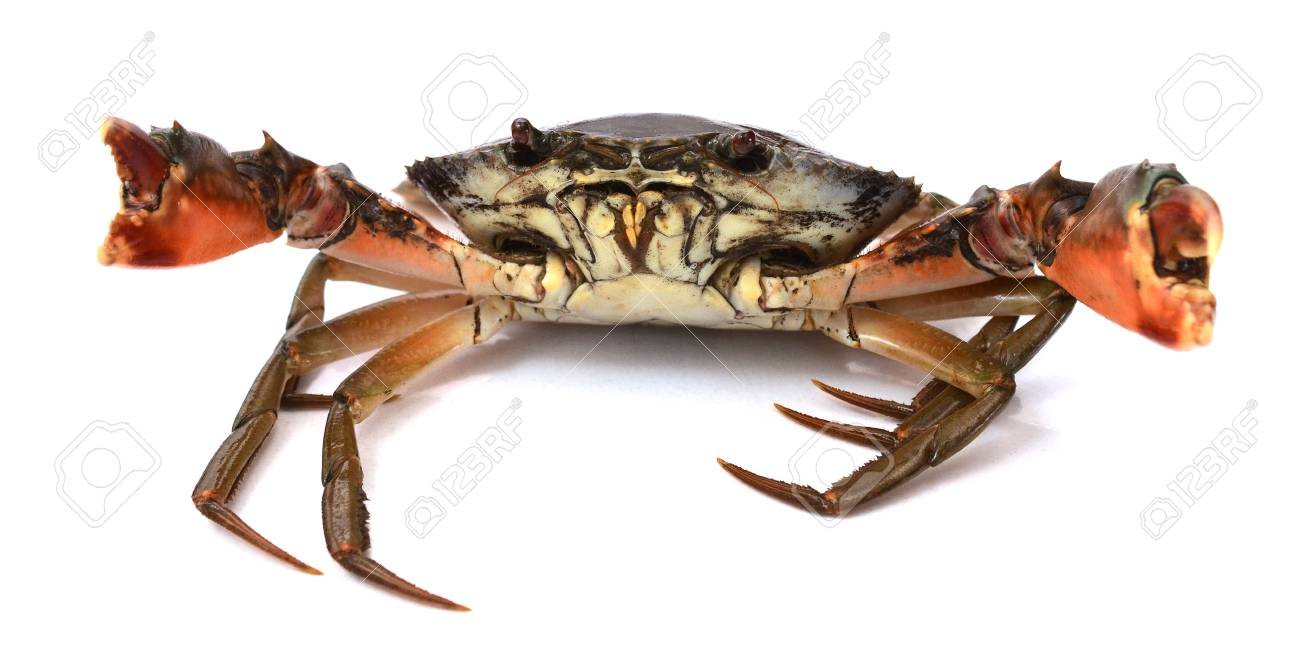 Scylla serrata. Big crab use the claw to fight small crab isolated on white background. Raw materials for seafood restaurants concept. - 118103348