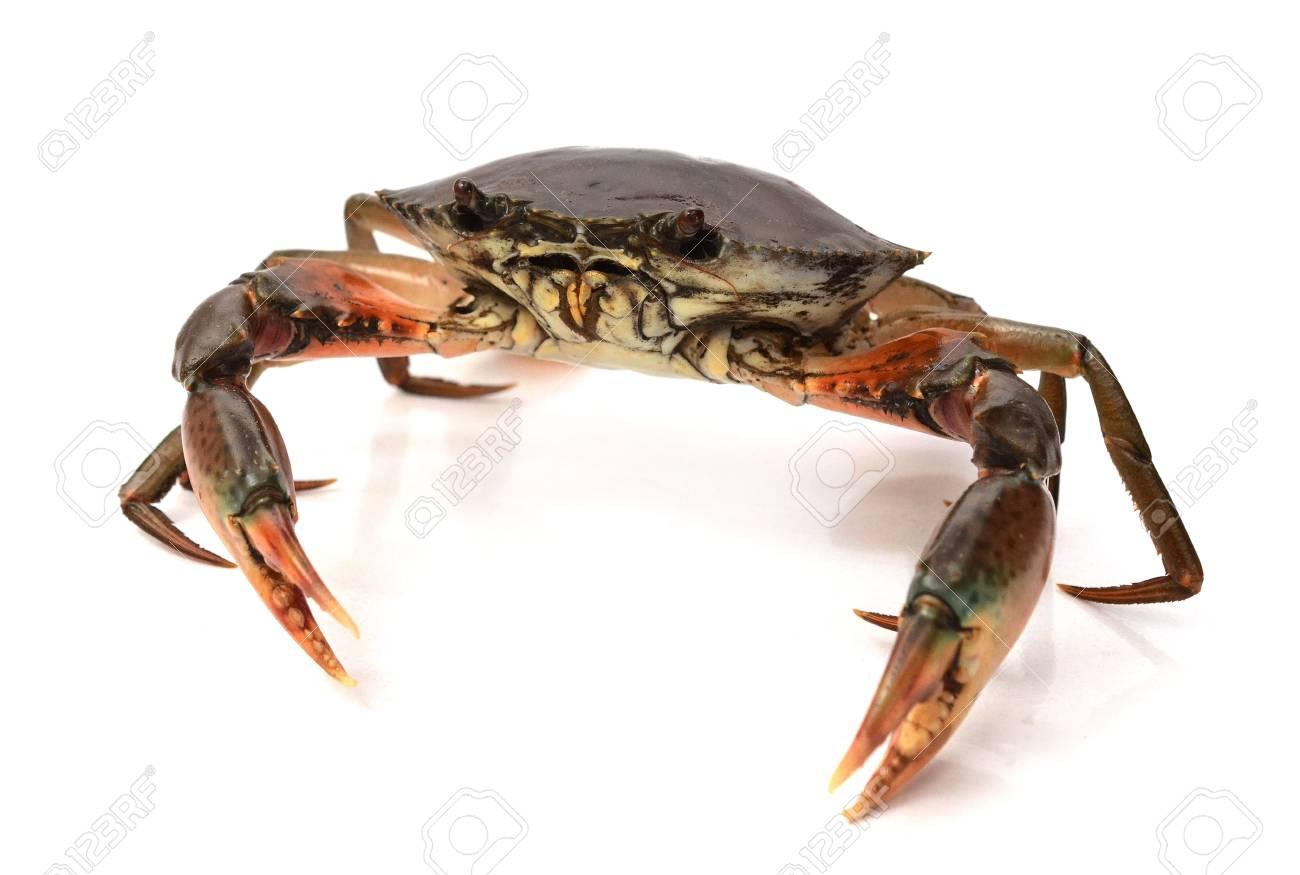Raw big sea crab on white background, Seafood - 118103349