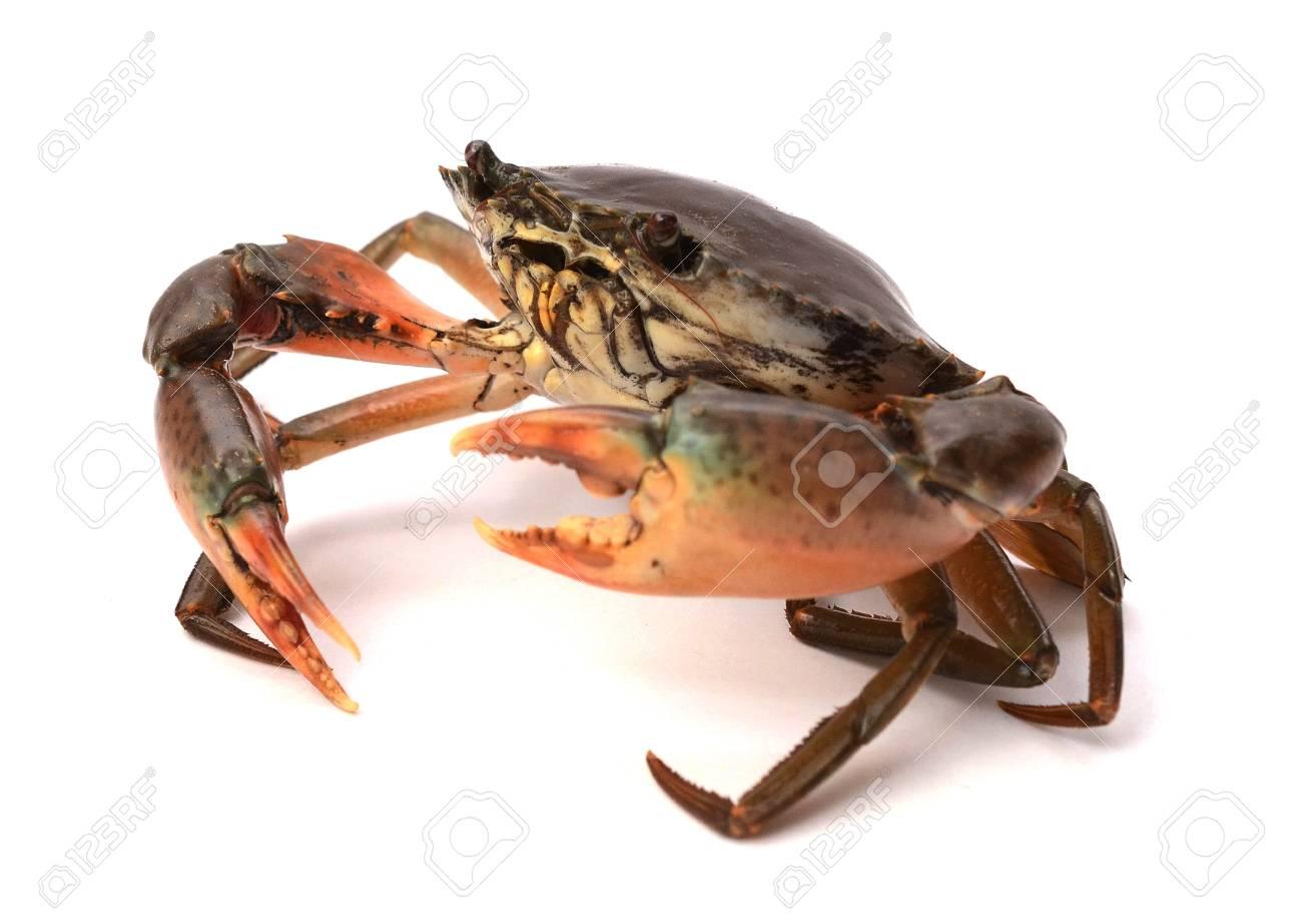 Raw big sea crab on white background, Seafood - 118103350