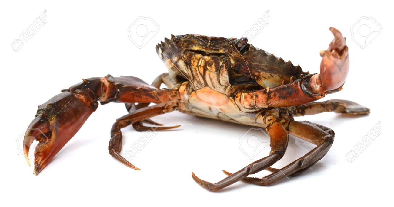 Boiled crab isolated on white - 118103351