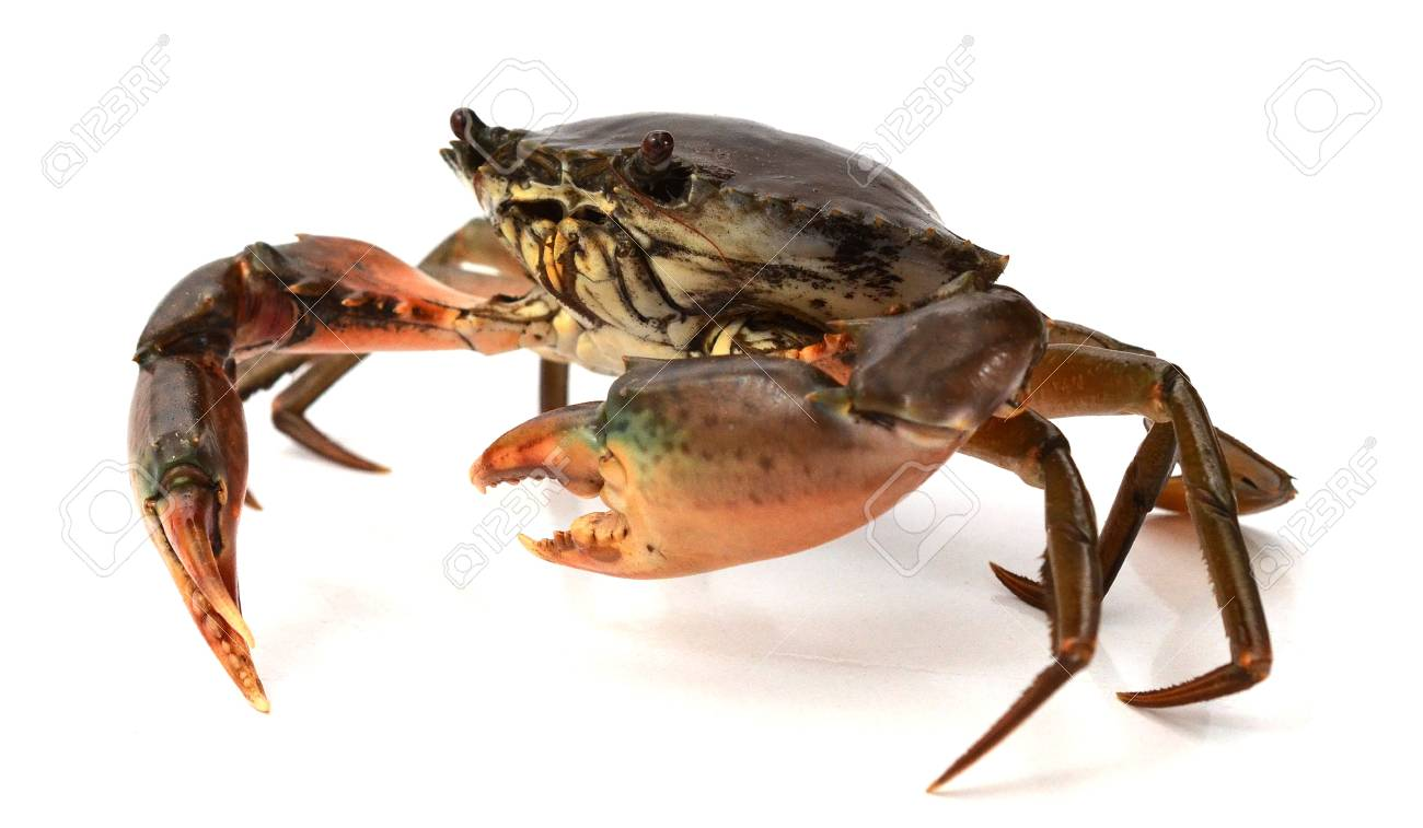 Boiled crab isolated on white - 118103354