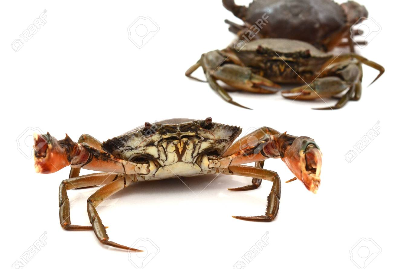 Crab on white background. Fresh seafood. Serrated mud crab. - 118103355