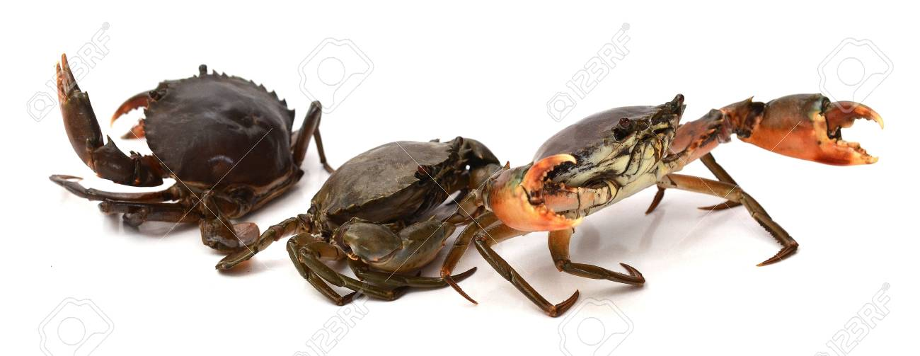 Crab on white background. Fresh seafood. Serrated mud crab. - 118103356