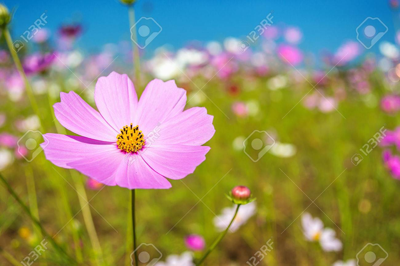 Perfect Cosmos Flowers In The Garden On Blue Sky Background Stock Photo   36433911