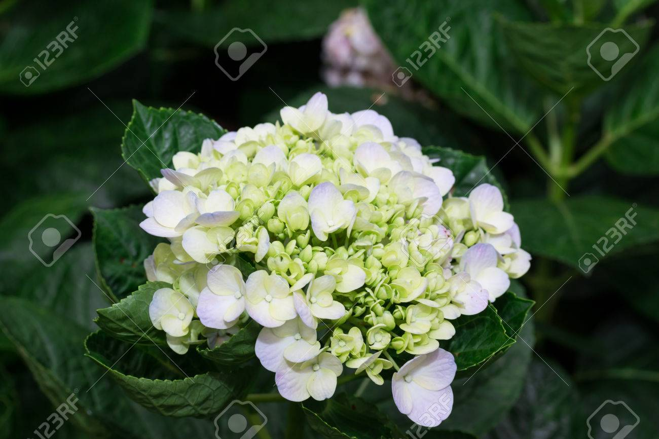White Hydrangea Flower Hydrangea Macrophylla In A Garden Stock Photo