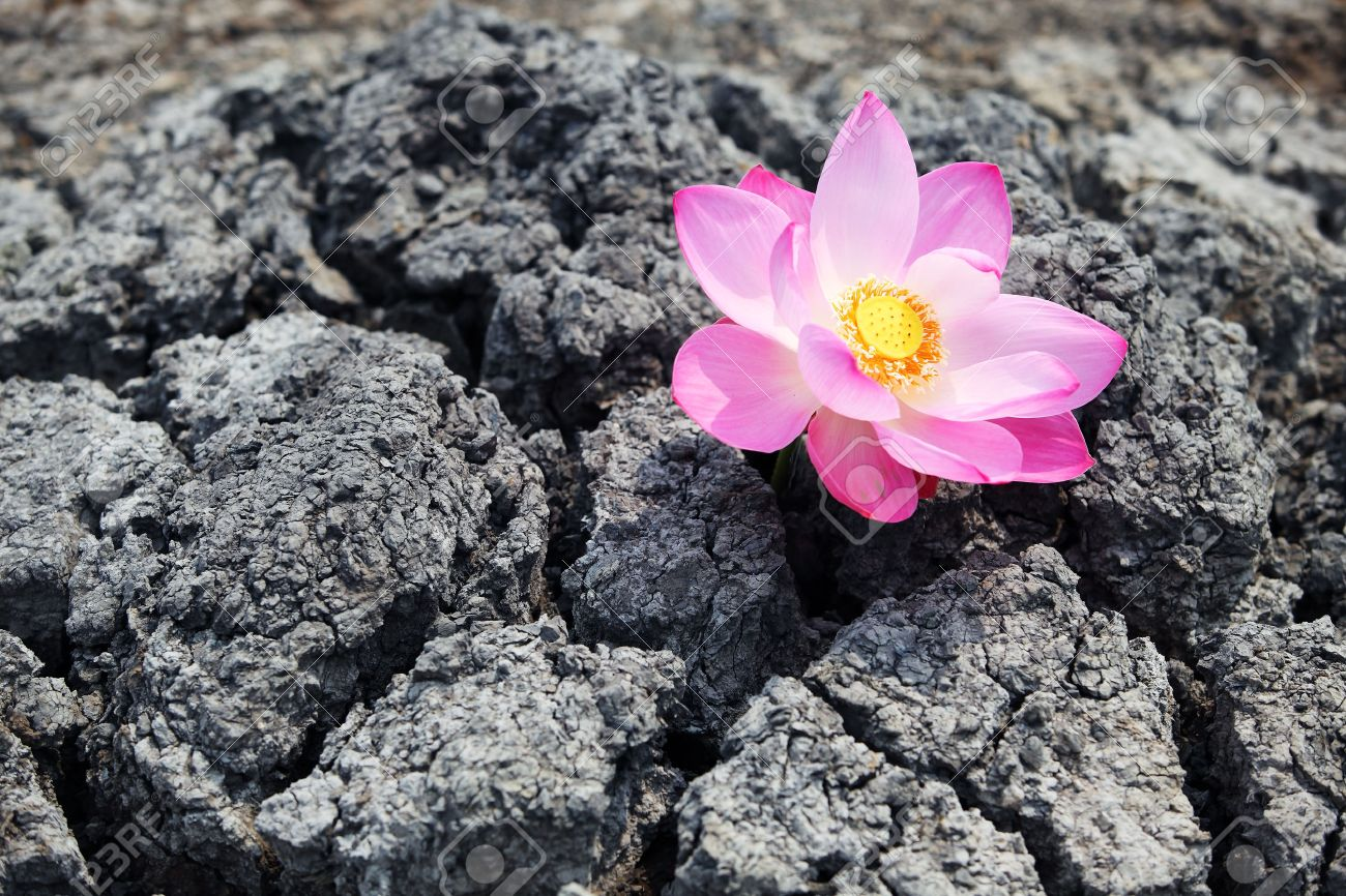 Lotus Flower Stand Alone In Dry Land Stock Photo Picture And