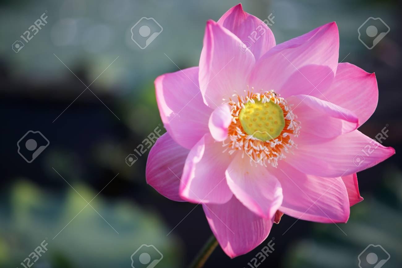 Beautiful blooming lotus flower as background stock photo picture beautiful blooming lotus flower as background stock photo 71438110 izmirmasajfo