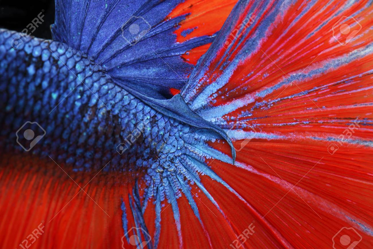 Close Up Of Colorful Texture Tail And Fin Fighting Fish Stock Photo ...