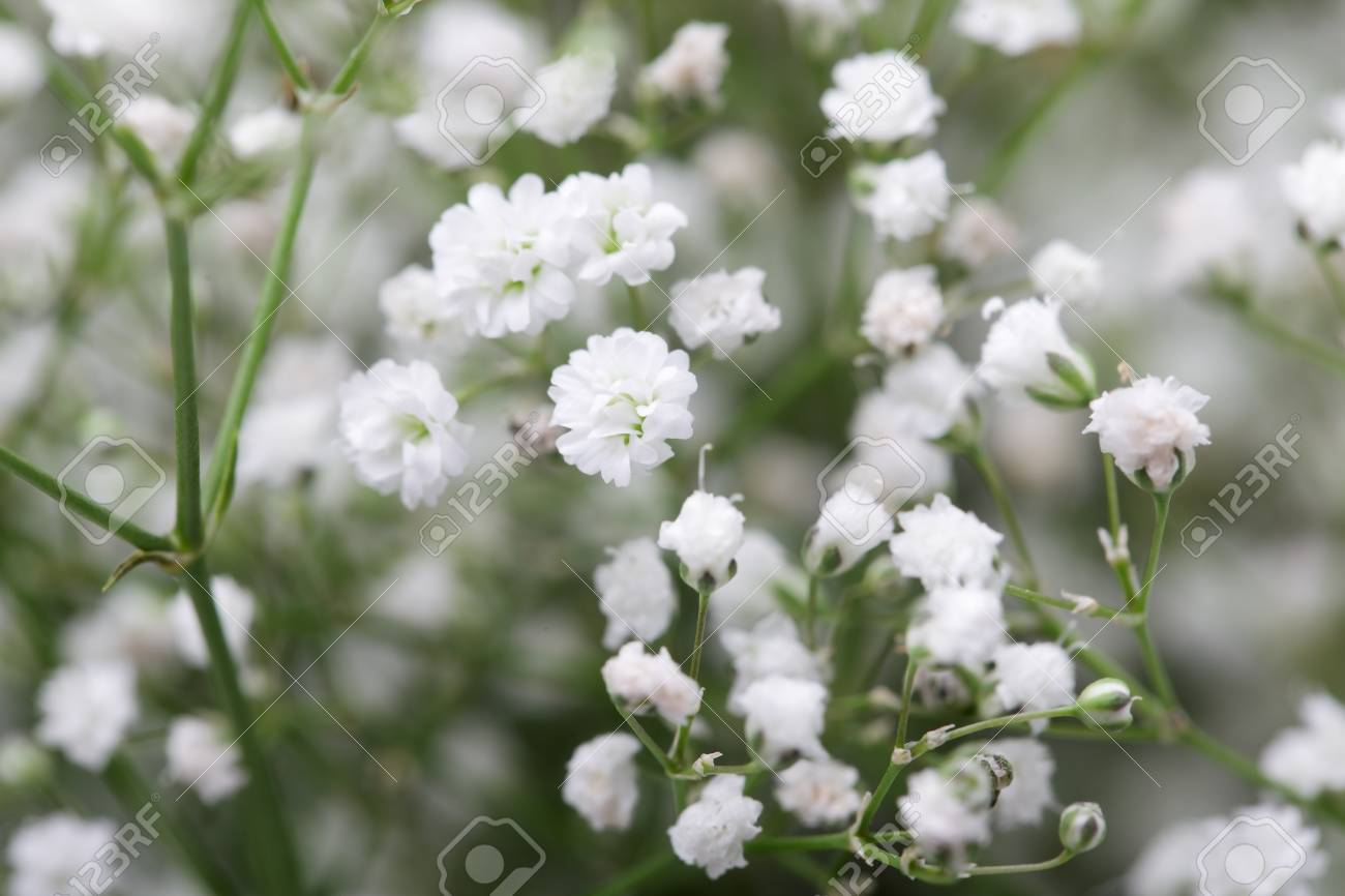 Close up of little white gypsophilababys breath flowers on close up of little white gypsophilababys breath flowers on blur background stock mightylinksfo