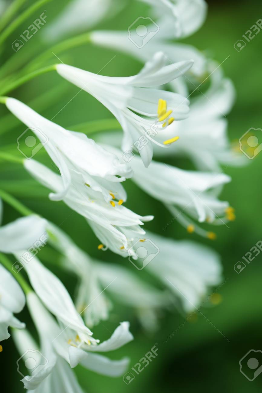 Close Up Of White Agapanthus Flower As Background Stock Photo
