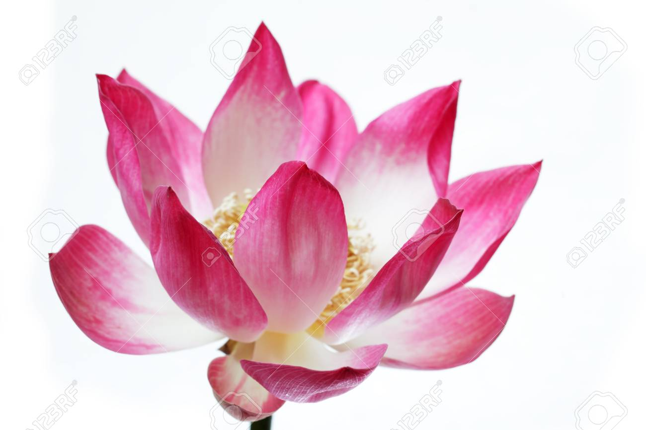 Beautiful Blooming Lotus Flower Isolated On White Background Stock