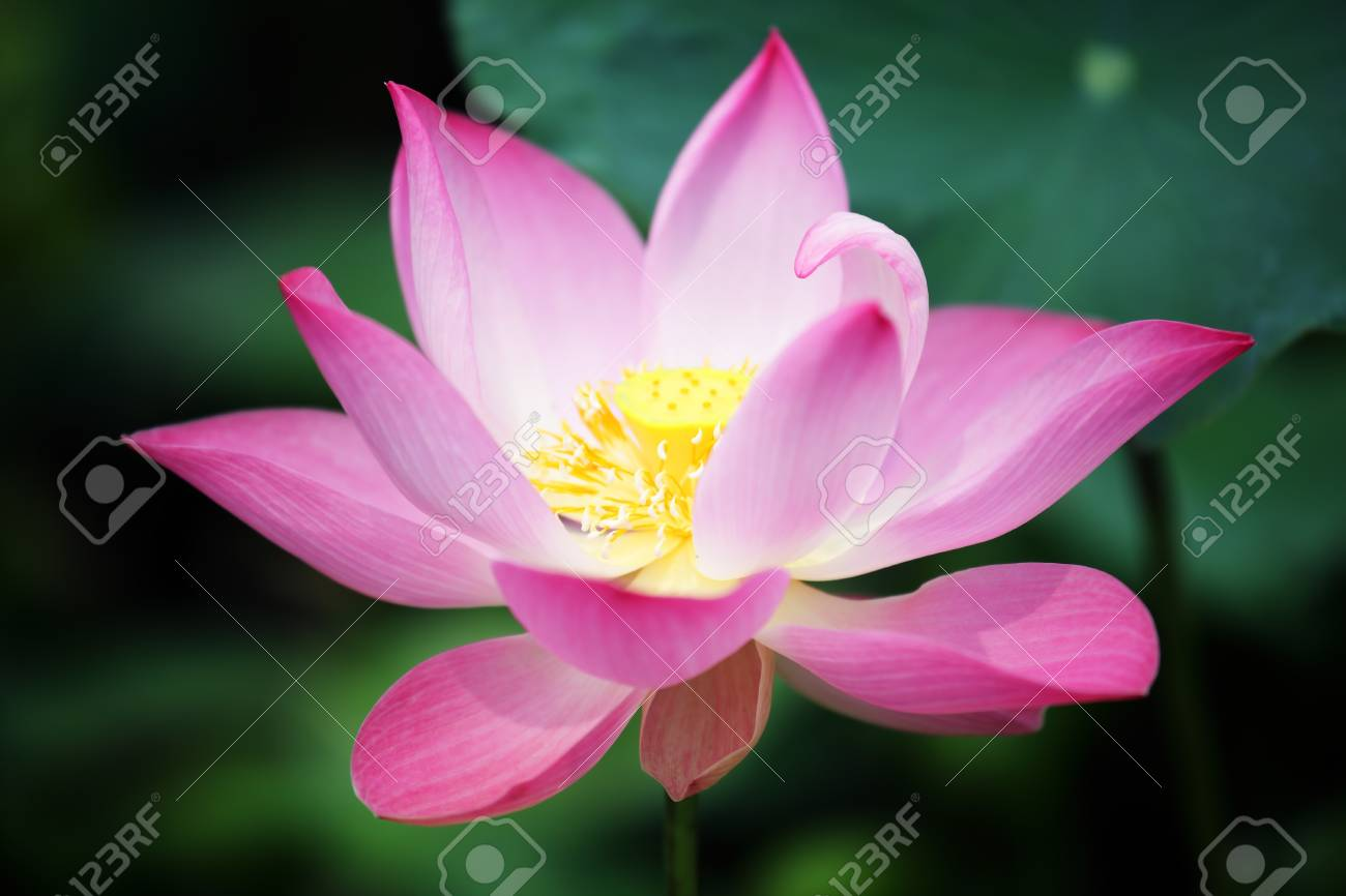 Beautiful Lotus Flower Blooming In Pond Stock Photo Picture And