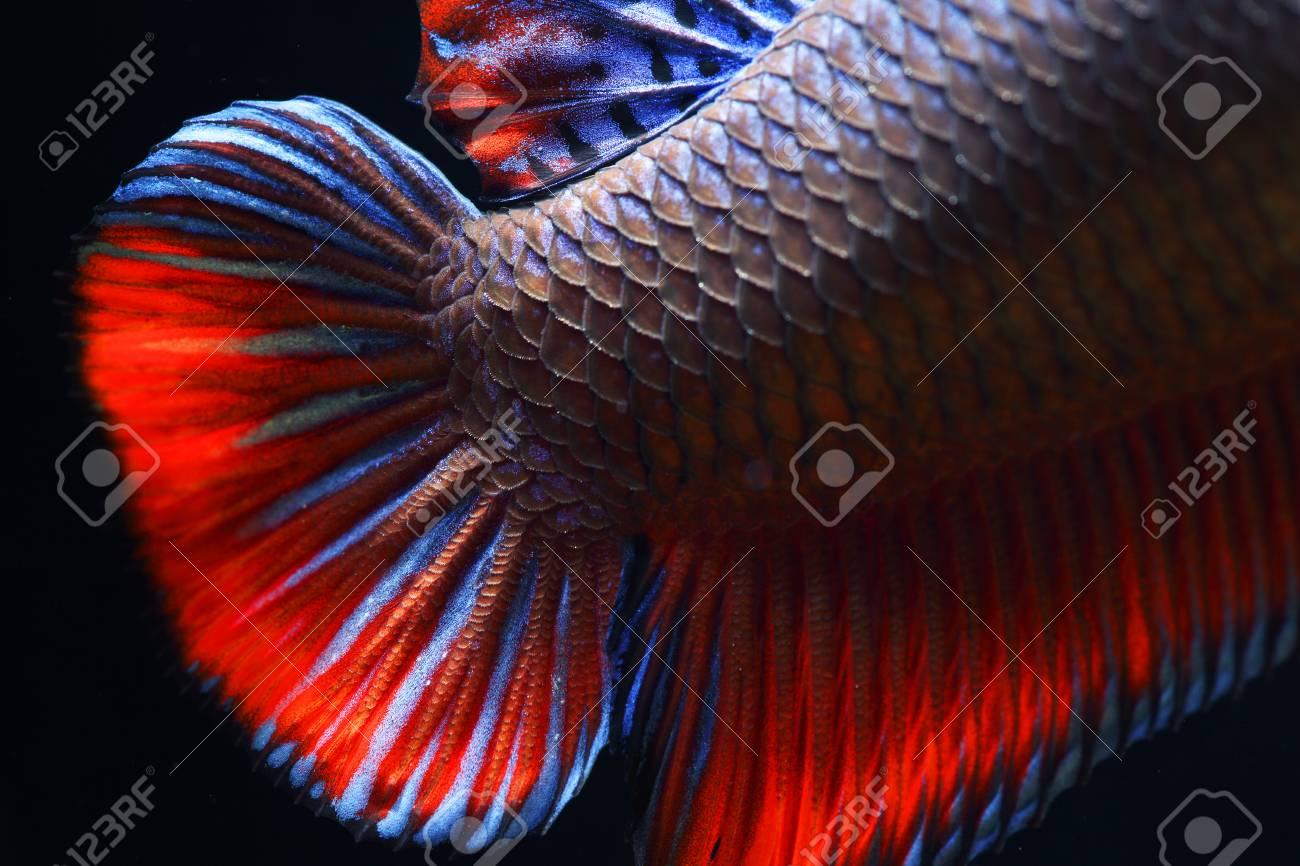 Close Up Of Siam Betta Fighting Fish,Betta Splenden( Pla-kad ...