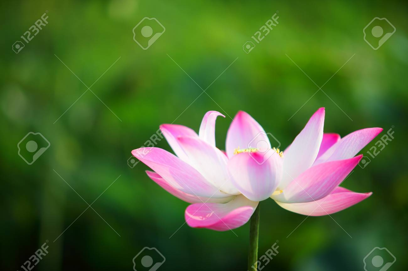 Pink lotus flower blossom blooming in pond with green background pink lotus flower blossom blooming in pond with green background stock photo 101921384 mightylinksfo