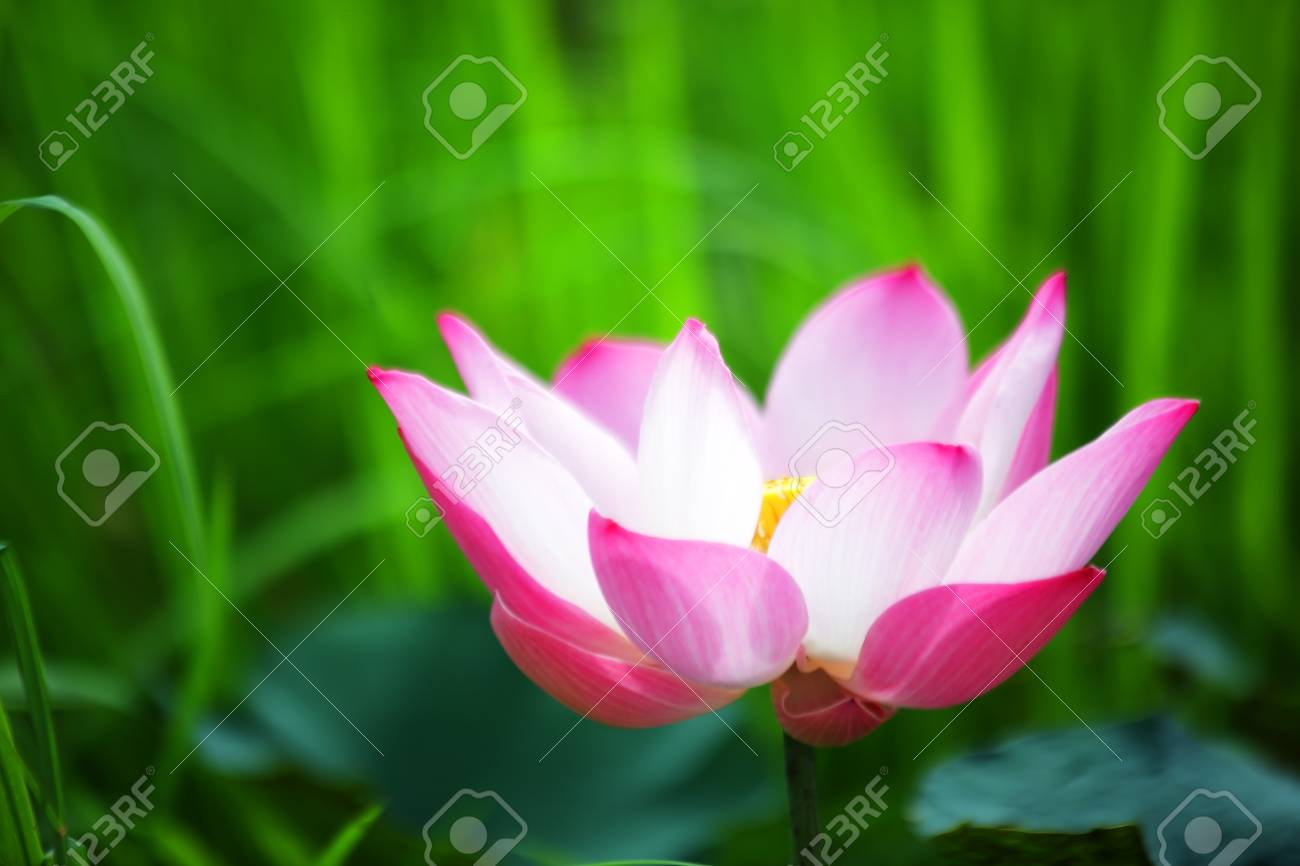 Beautiful lotus flower blooming with green background stock photo beautiful lotus flower blooming with green background stock photo 105089793 izmirmasajfo