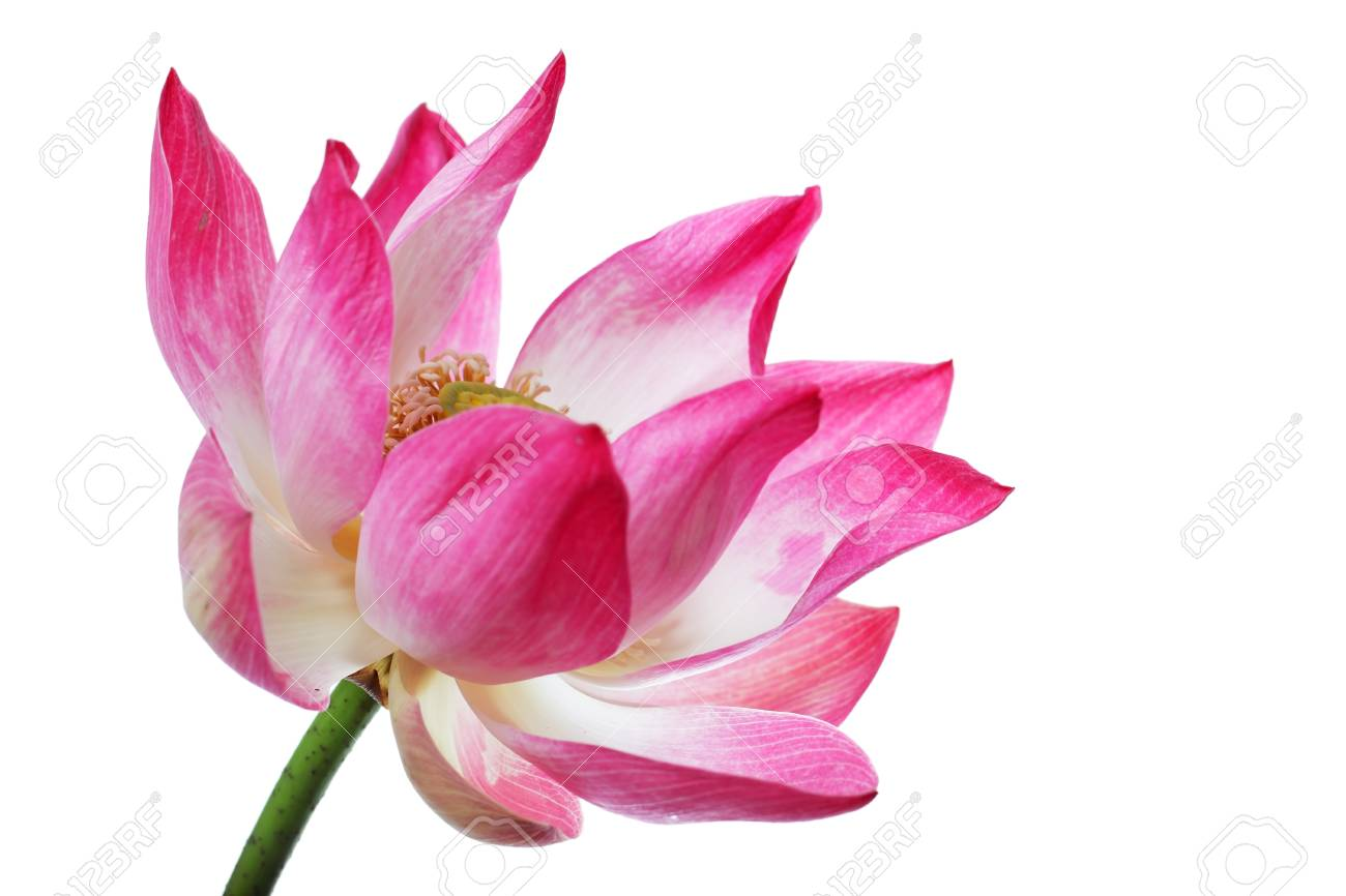 Beautiful blooming lotus flower isolated on white background stock beautiful blooming lotus flower isolated on white background stock photo 106024101 izmirmasajfo