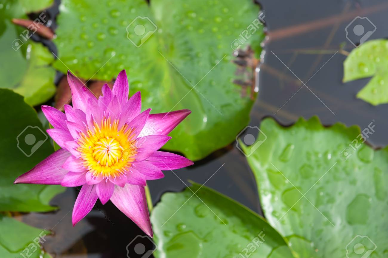 Pink Lotus Flower And Lotus Flower Plants With Copy Space Stock