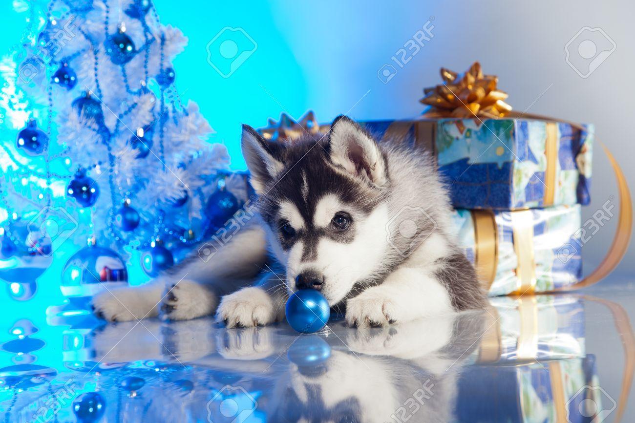 Husky Christmas Puppy.Siberian Husky Puppy With Christmas Decoration