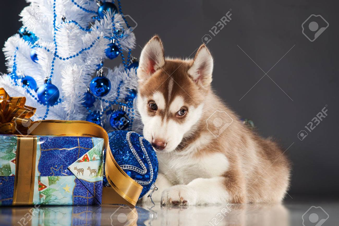 siberian husky puppy with christmas decoration stock photo 23322423
