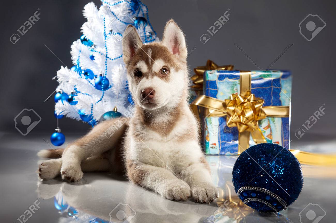 siberian husky puppy with christmas decoration stock photo 23322440
