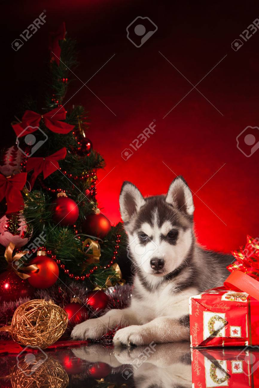 siberian husky puppy with christmas decoration stock photo 23321979