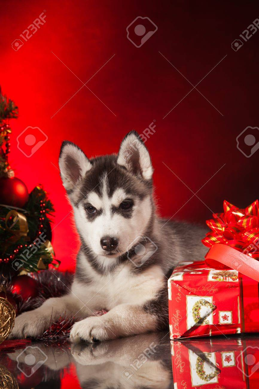 siberian husky puppy with christmas decoration stock photo 23321981