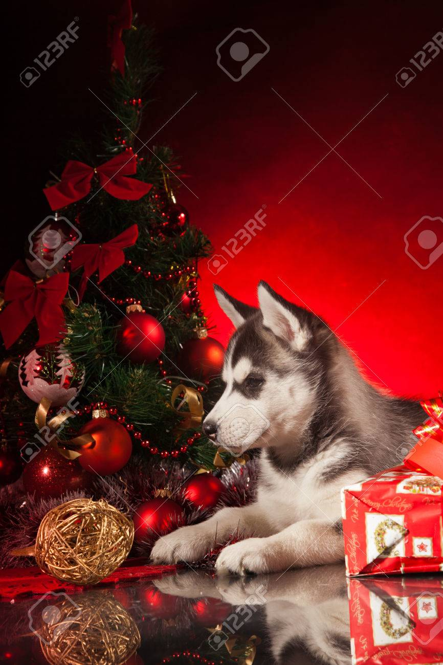 siberian husky puppy with christmas decoration stock photo 23321982