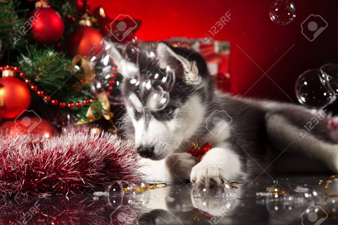 siberian husky puppy with christmas decoration stock photo 23321985