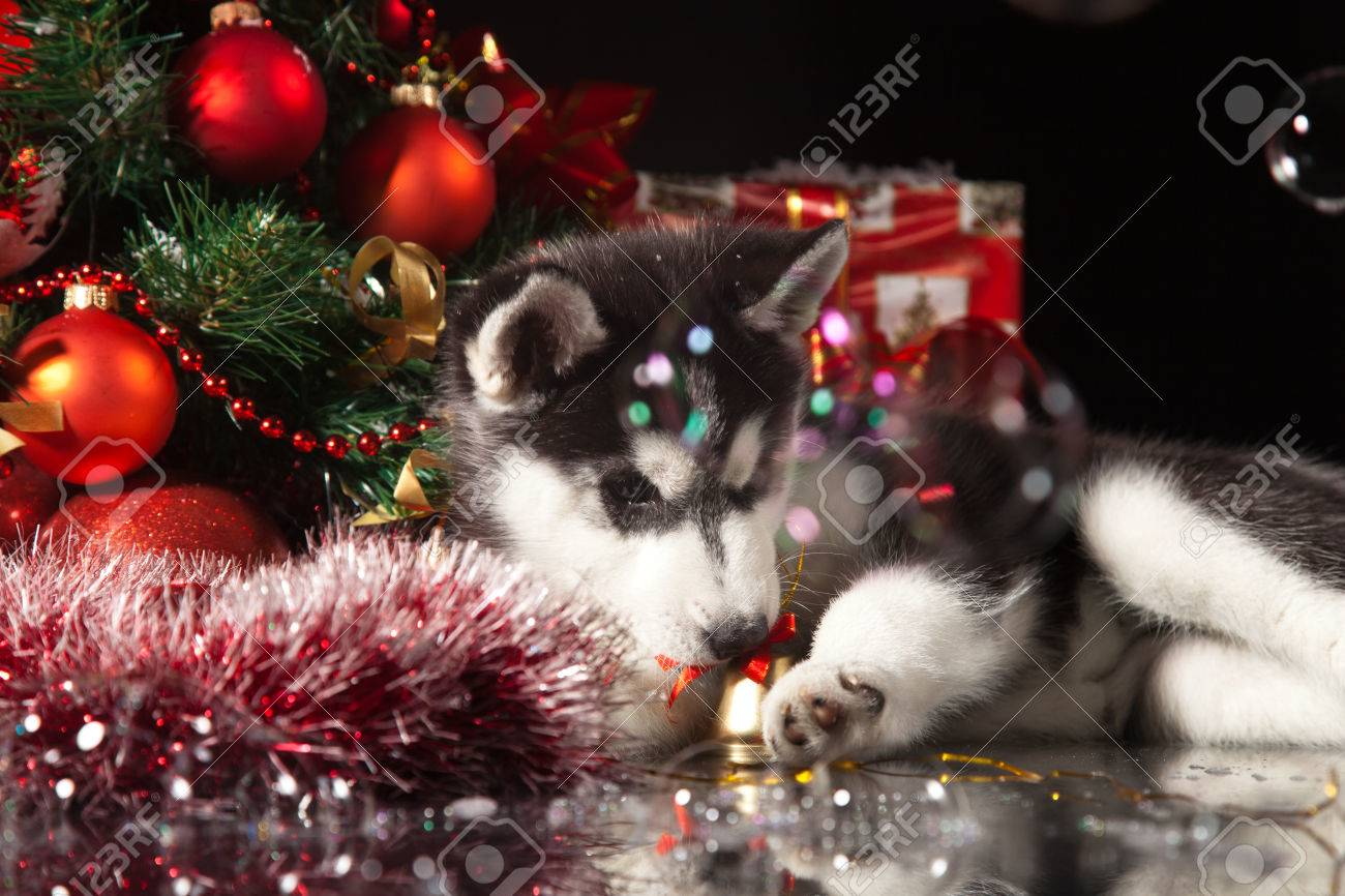siberian husky puppy with christmas decoration stock photo 23321956