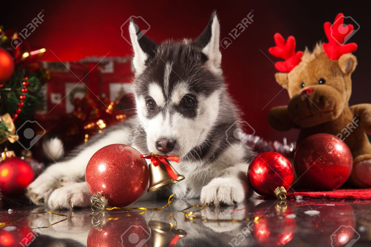 siberian husky puppy with christmas decoration stock photo 23321957