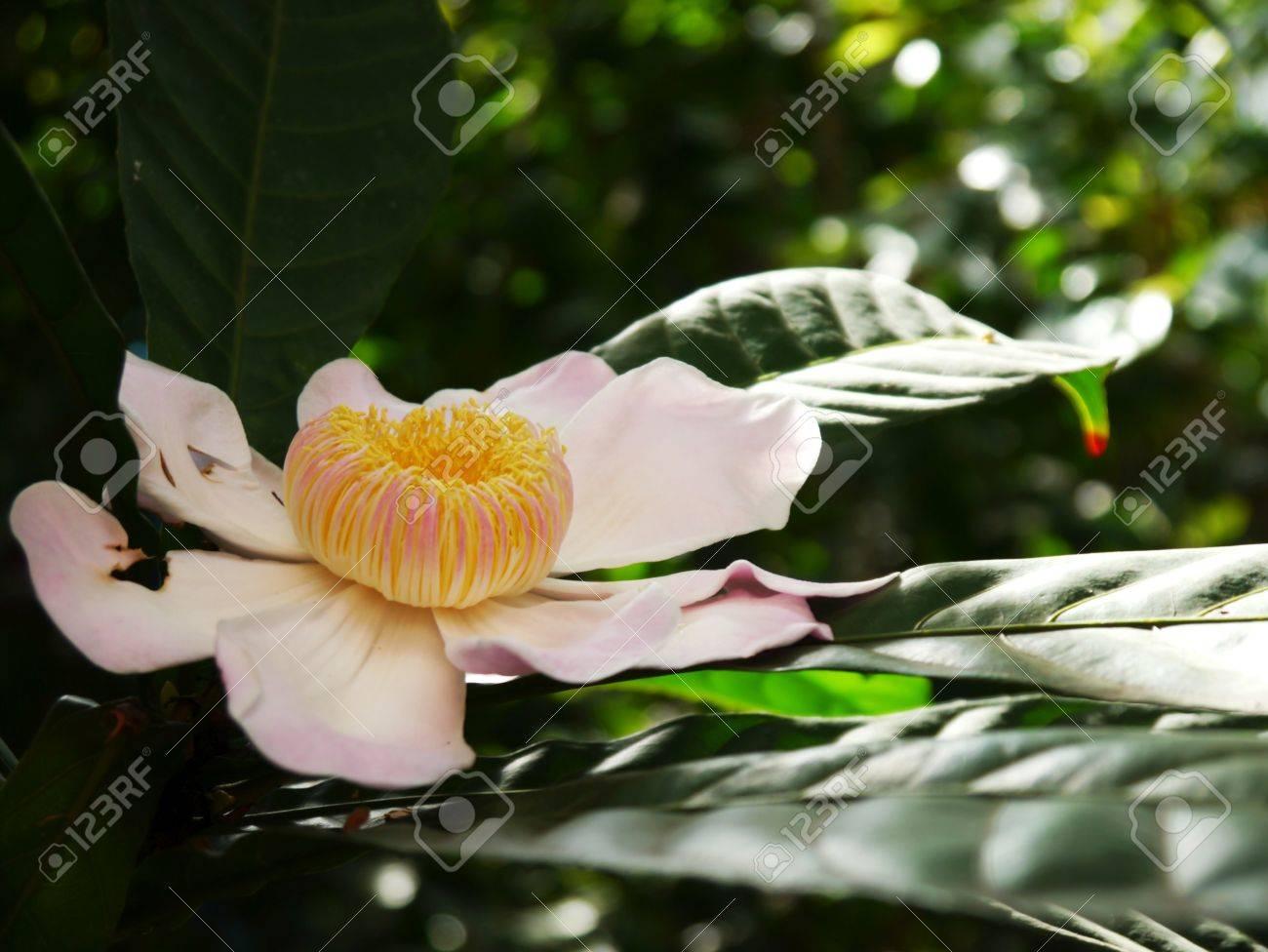 Gustavia like a lotus flower stock photo picture and royalty free gustavia like a lotus flower stock photo 64660807 izmirmasajfo Images