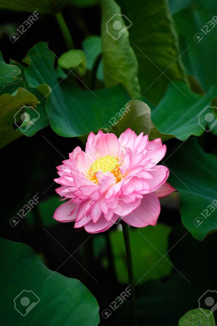 Lotus flower at taipei botanical garden in taipei taiwan stock lotus flower at taipei botanical garden in taipei taiwan stock photo 95402477 izmirmasajfo