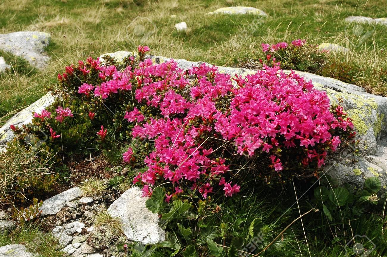Rhododendron in Retezat National Park, Romania Stock Photo - 17295003
