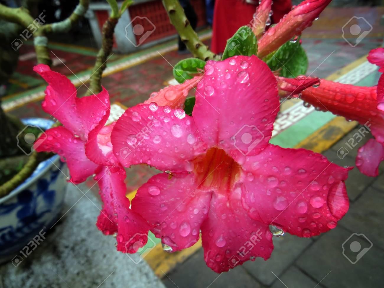 Pink Impala Flower Petals Vietnamese Bonsai Stock Photo Picture