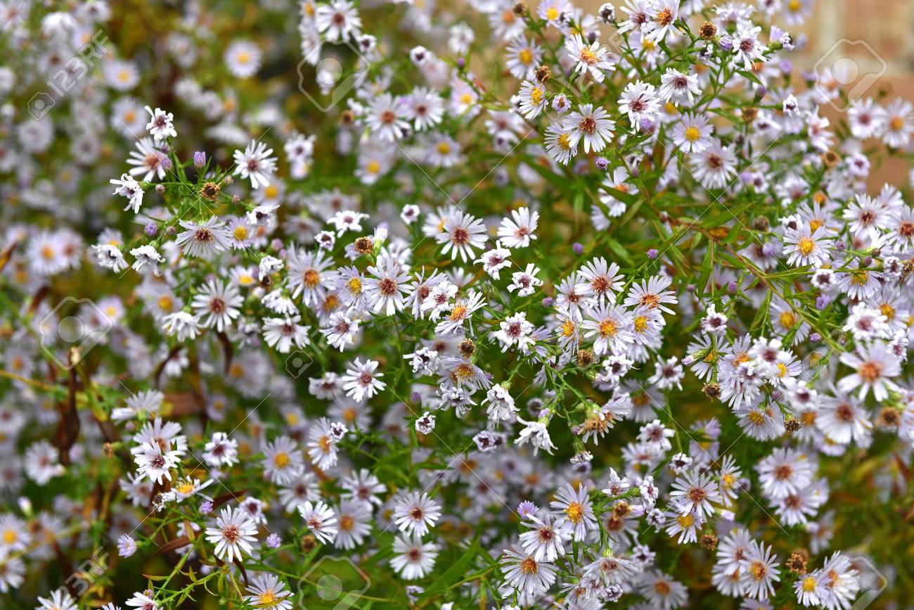 Bunch Of Small White Pink Summer Flowers In The Outdoors Stock
