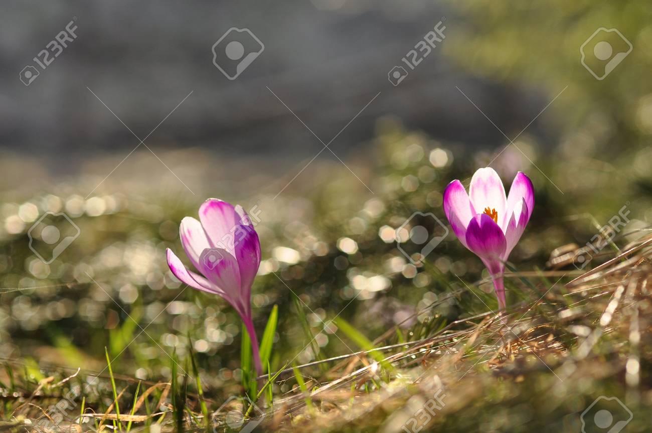 Spring Flowering Bulbs Of Purple Crocus Flower Crocus Vernus Stock