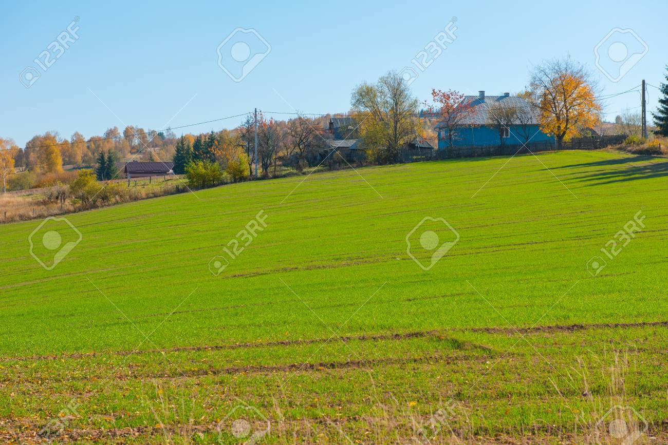 Green arable field. Agricultural meadow, wheat during summer - 104731313
