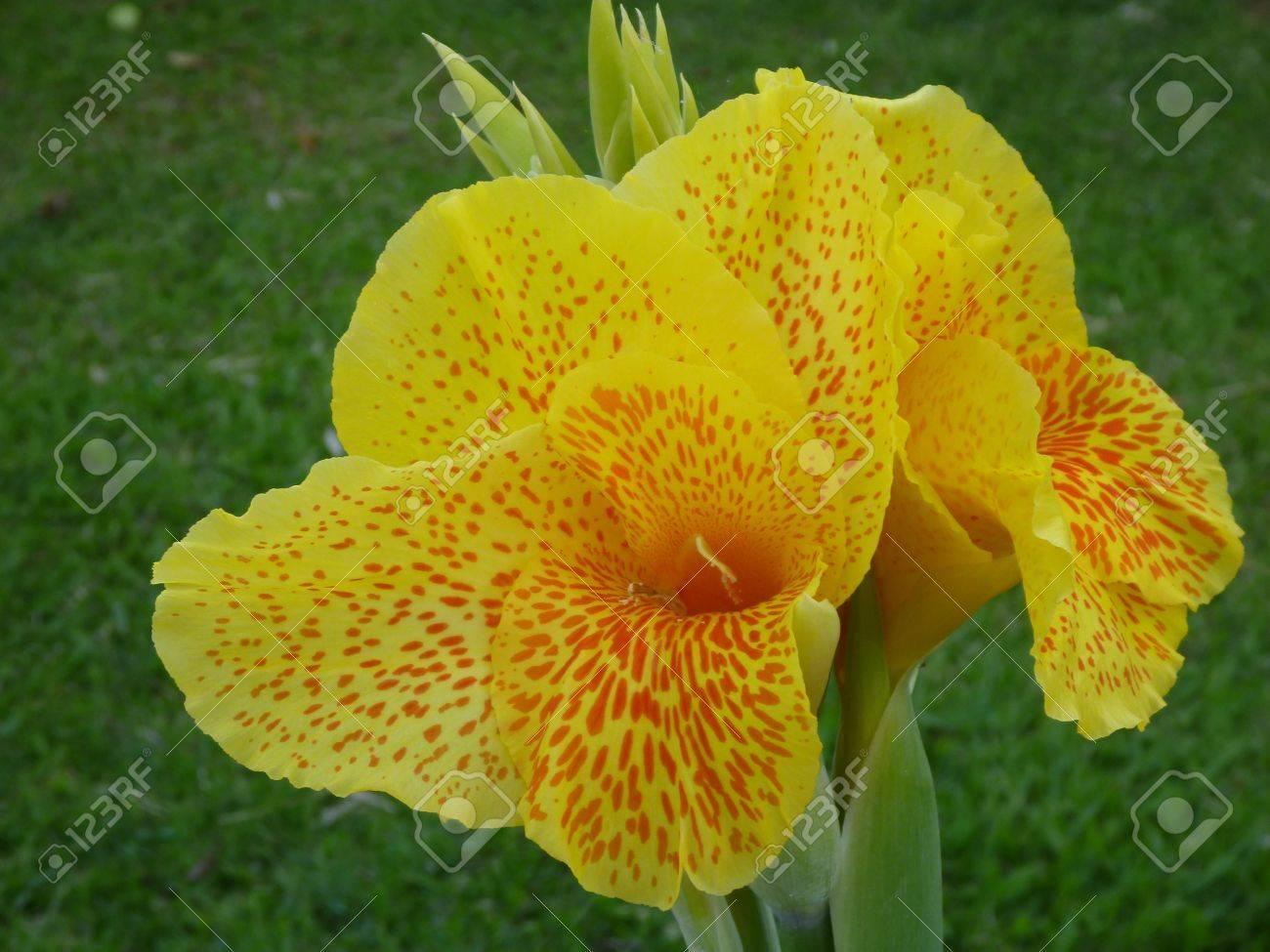 yellow tropical flower indonesia bali green background stock photo, Beautiful flower