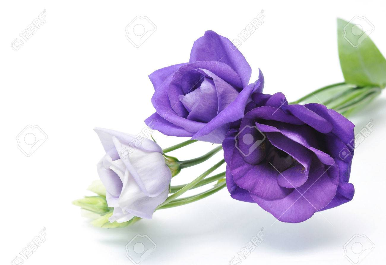 Light Purple Flowers Eustoma Isolated On White Stock Photo Picture